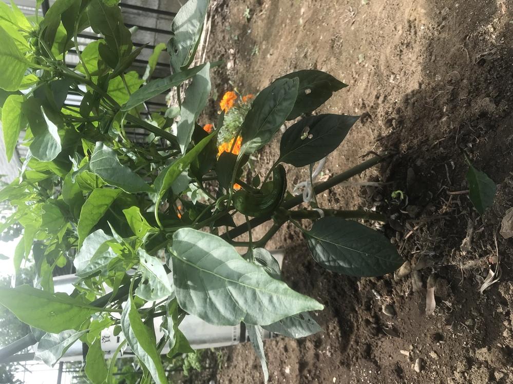 初めての家庭菜園でピーマンを育て中なんですが枝が見た目凄くかさばって見えるのですが少し切り落とした方がよろしいのでしょうか?