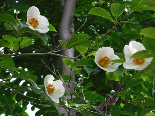 この樹木の花の名前を教えてください。