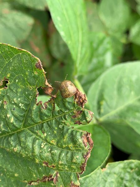 この虫が分かりますか?枝豆を育ててます。そこに10匹以上発生してます。対策も教えて下さい。 よろしくお願いします。