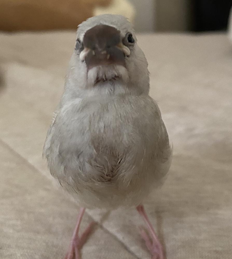 先週6/6に文鳥をお迎えしました。 5月上旬に生まれたとの事で、そろそろ生後1ヶ月かと思うのですが、不安な点がいくつかあります。 お迎えしてすぐ、鳥も見れる獣医で健康診断を行ったのですが、コクシ...