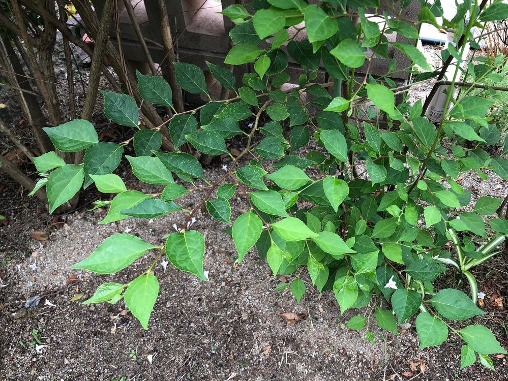 これは何の木かお分かりでしょうか? 引越し先に植えてあり、無知な私は冬に枯れていると思って根元で切ってしまいました、、、すると春先に切った根元から2本細い枝が出て今はこんなに葉がついています。今後は支柱を立てて大事に育てようと思います。葉の形から木の名前を探していますが、見つかりません。。植えてある場所から、落葉低木か中高木のような気がします。