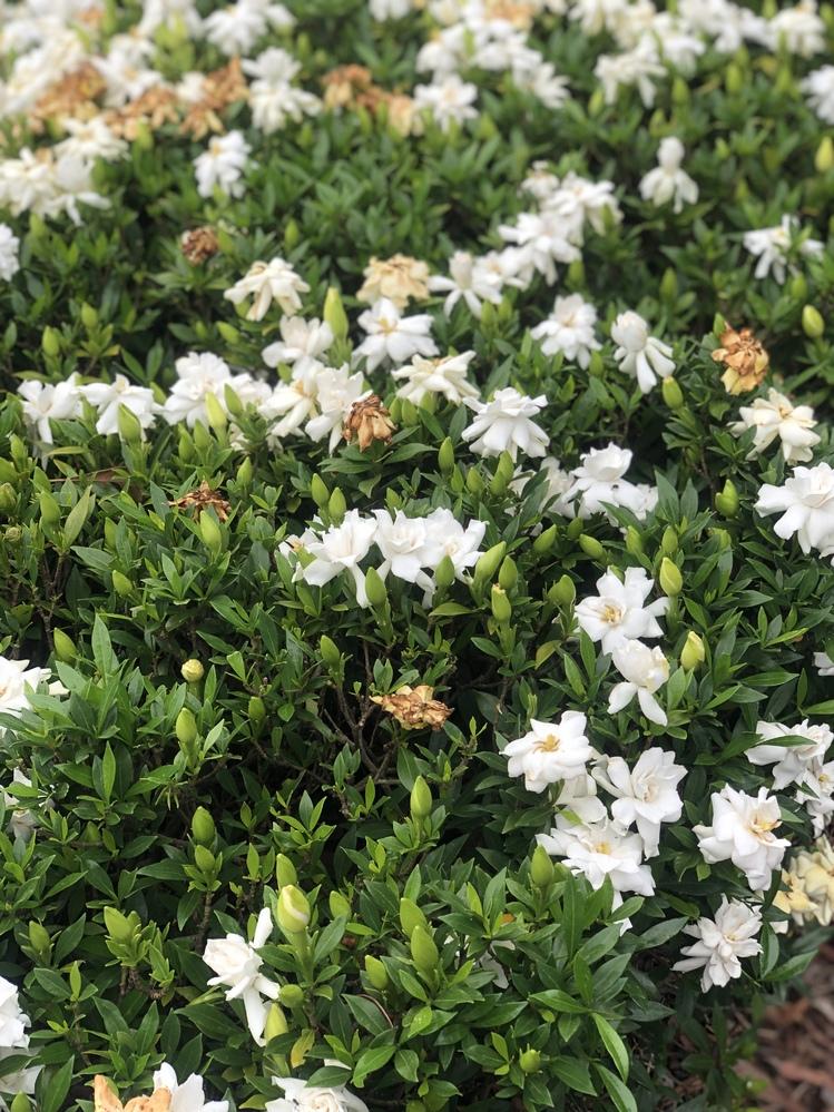 花の名前を教えてください。 近所の公園に白くて甘い香りの花が咲いています。ずっとツツジだと思っていたのですが花がツツジじゃないしそこらじゅう甘い香りが漂っているので... ググってみたところ時期的にクチナシ?っぽいと思うのですがこれがクチナシですか?