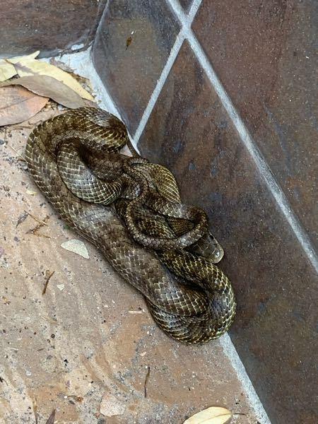 これは何蛇ですか? 毒はありますか?