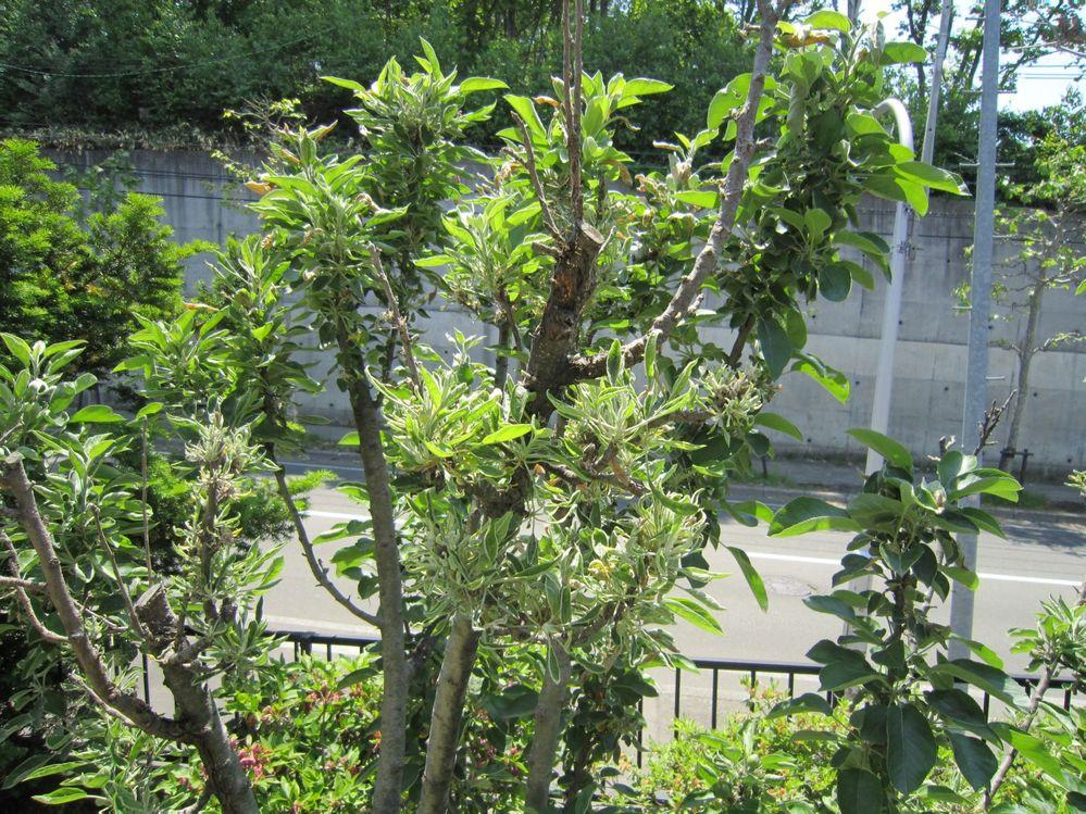 りんごの木です。葉が枯れます。 去年もなりました。 実も枯れます。 どうすればよいですか、教えてください。