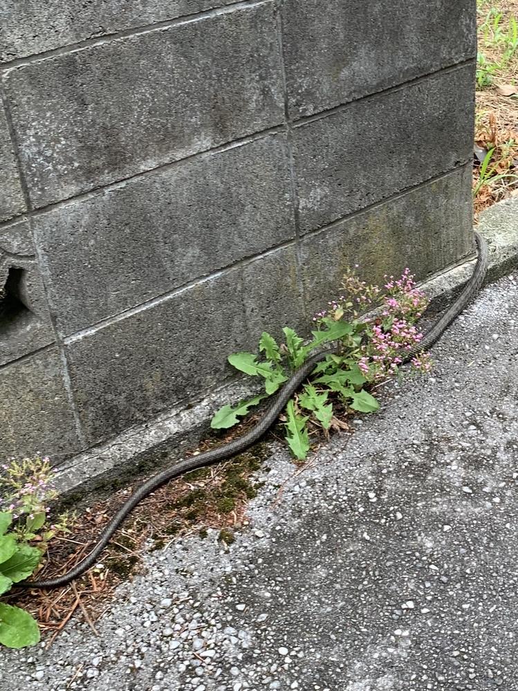 朝見かけたのですが、この蛇の種類がわかる方いますか? 頭写ってなくてすみません。