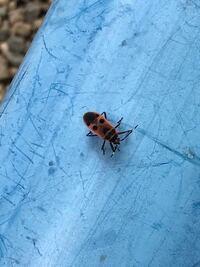 このてんとう虫とカメ虫が合体したような虫の名前は何といいますか?