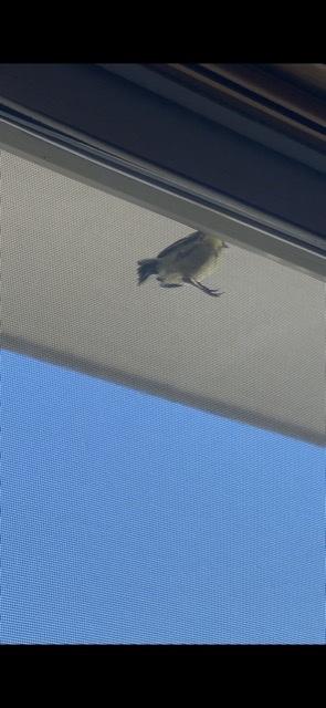 この鳥の種類が分かる方がいたら教えて下さい。毎年この時期(6月)に網戸にとまって鳴きます。ジジジジジと大抵5回続けて鳴きます。 画像が見づらくてすいません。 よろしくお願いします。