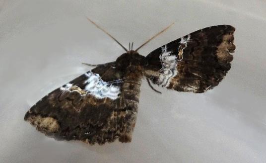 蛾の種類を教えてください。 地面に落ちていました。体長2センチほどです。