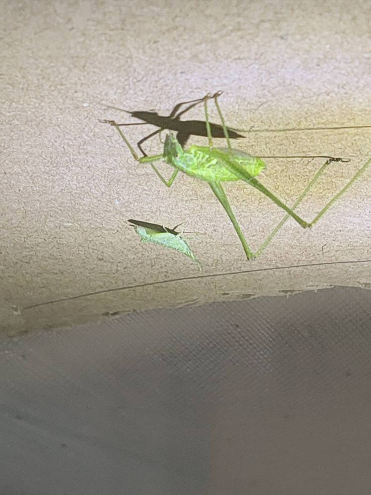 この虫は何でしょうか?隣にいるのは、オンブバッタの幼虫ですが。。