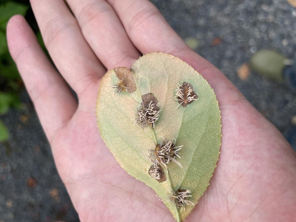 庭木の葉にシミのようなものができ、さらにそこにモサモサと写真のように何か生えているのですが、これは病気かなにかなのでしょうか?