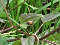 昆虫の名前を教えて下さい。ピンボケですがよろしくお願いします。  撮影日 2021-06-13 撮影地 利根川河川敷