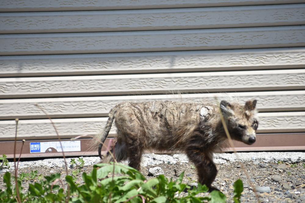 この生き物は狸でしょうか? 北海道の阿寒周辺で撮影したのですが、夏の狸がどのような毛並みなのかがわからずそうなのかなと思っていました。 泥が付いてたり傷ついてるように見えるのですがどうでしょ...