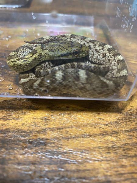 これはなんてゆう蛇ですか?