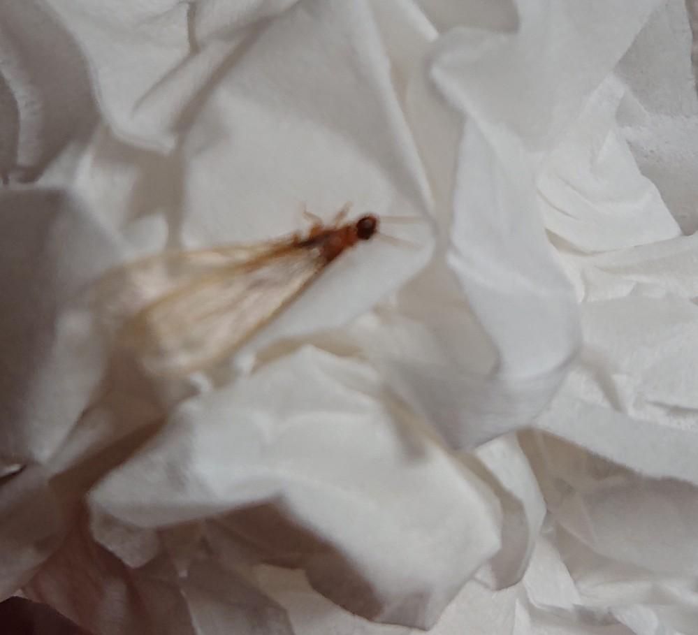 最近、家の外の灯りに集まってくる虫なんですがこの虫が何か分かる方いたら教えて下さい。 家の中にもいつの間にか入ってきていて虫が苦手なので困っています…