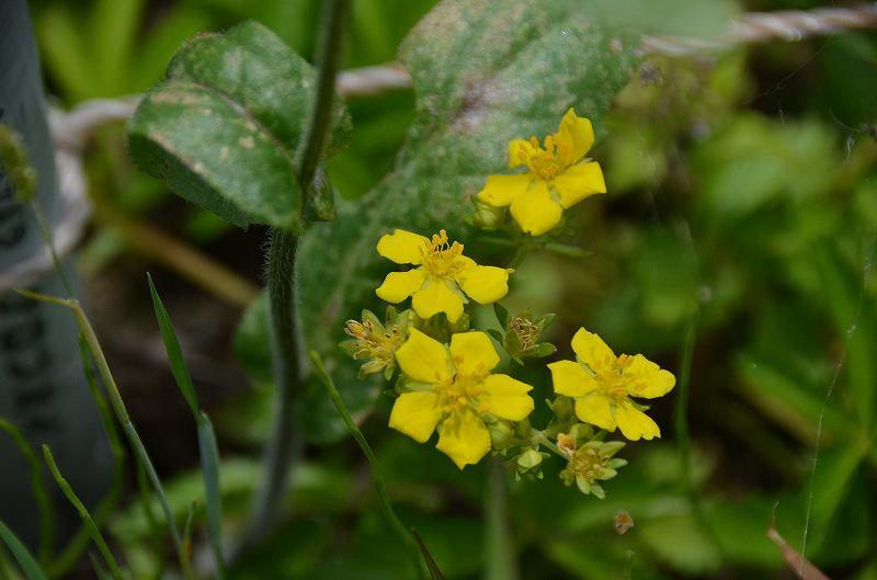 植物です。 野の花。。。黄色の可愛いのが名前が全く解りません。 どなたか詳しい方教えてください。