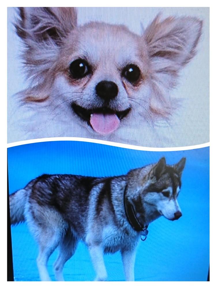 犬種についての質問です。この画像の子の犬種は何という犬種ですか? Googleレンズで調べてみてもチワワかパピヨン、シベリアンハスキーかアラスカンマラミュートと2択になってしまい、どちらか絞れずにいます。犬種に詳しい方、お知恵をお借りできたら助かります!