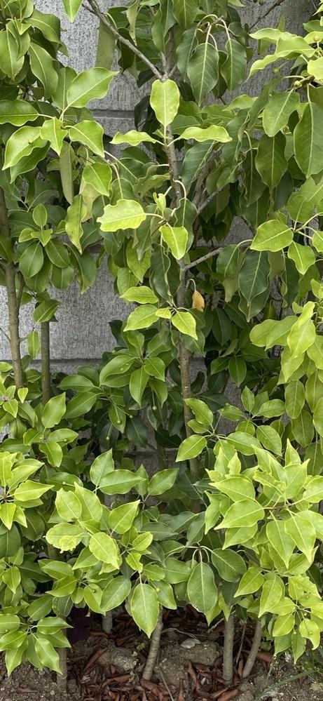 この木何の木? 新築に引っ越しました。 玄関の前の一角に何故か植木がありました。 何の木なのか気になります。名前を教えて下さい。 宜しくお願いいたします。
