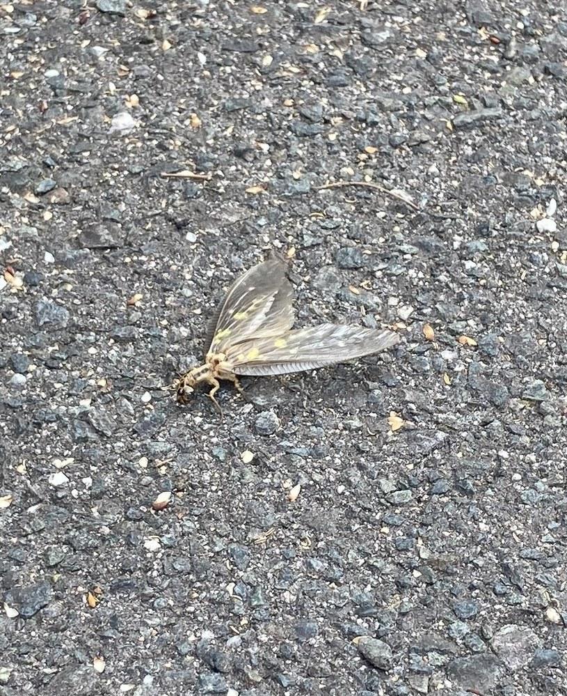 この虫の名前は何でしょうか? セミくらいの体長で、腹の裏が黄色かったです。