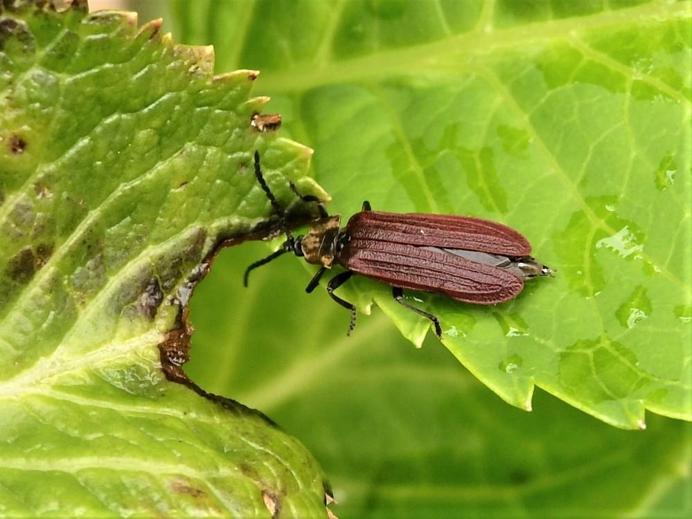 この虫の名前(種類)を教えて下さい ハムシの仲間の様ですがハッキリしません。