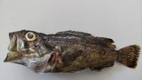 この魚はなんですか。 釣れたのですが、たべられますか?