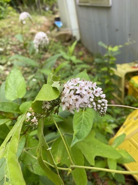 この白い花が咲いている植物の名前を教えてください。