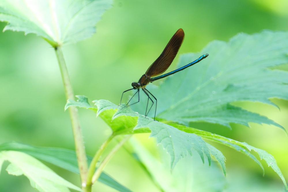 これは イトトンボではないのですか 手持ちの図鑑には 糸蜻蛉に載っていないんですが 教えてください
