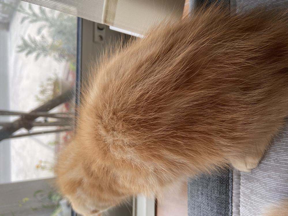 この子猫は短毛、中毛どちらでしょうか?