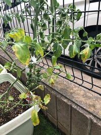 プランターのトマトについてです。わさわさ元気よく成長してたのが最近になって葉が枯れ始めてしまっています。原因は何でしょうか?水をあげても昼間は葉がチリチリしています。