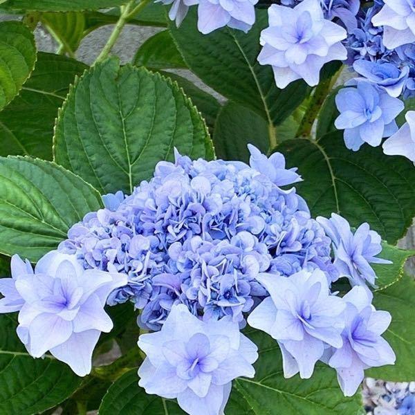 この紫陽花の名前わかりますか?