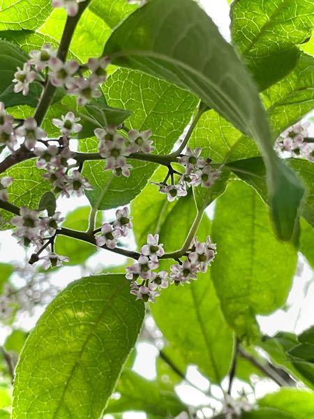 写真の植物の名前を教えて下さい。高さは2メートルほどの木で、この時期(6月半ば)5〜8ミリほどの小さな花を付けています。場所は東北の太平洋側の南端です。よろしくお願い致します。