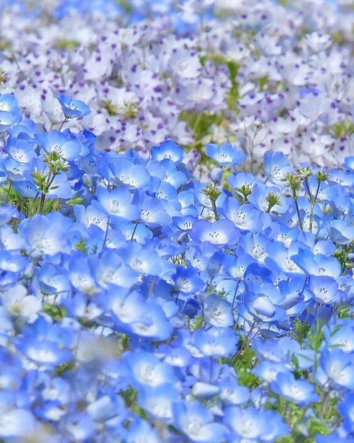前の青い花はネモフィラですよね? その後ろの紫の花はなんて言う花なのでしょうか? お優しい方教えて下さると嬉しいです((_ _(- ∪ - *)ペコリ.*♪