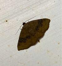 この蛾の種名を教えてください。 ウスキコヤガにしたら黒い?