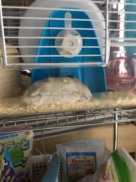 ハムスターを飼っている方に質問です! これって暑がっているのでしょうか? (ケージの横に温度計を設置していて、室温は25℃を保っています)