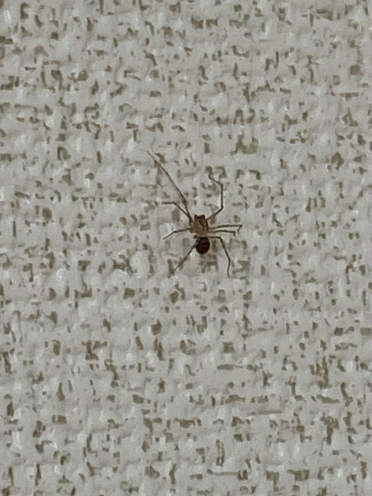 家に出たこちらの蜘蛛の名前わかる方いますか?体長は足の長さを含めると1センチは超えていました。