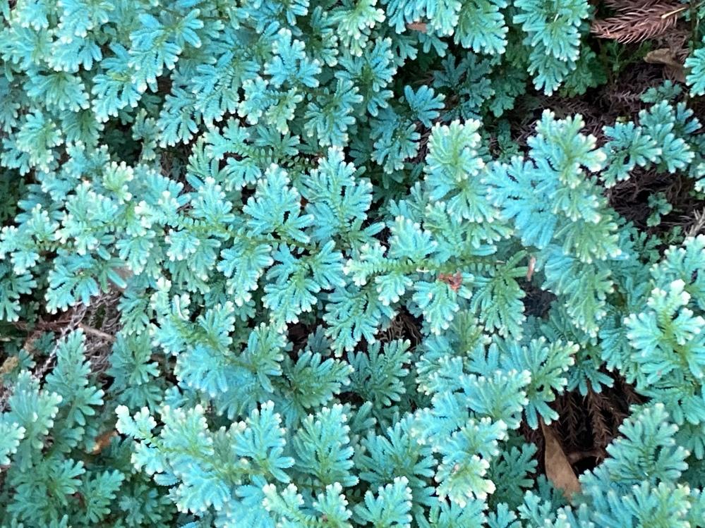 この植物の名前分かりますか? 今日山に入ったら少し日陰の場所に咲いとりましたが。可愛いので持って帰りたいな? とか思っちゃったりしてたんですが、名前や特性が知りたく質問しました。 宜しくお願いします。