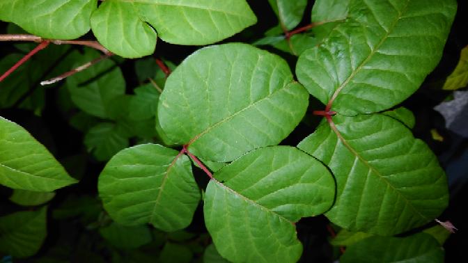 庭に大量にある植物なんですがなんの葉っぱでしょうか?