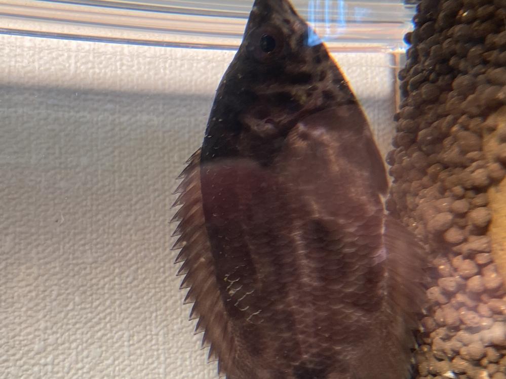 熱帯魚についての質問です。 飼育しているレオパードクテノポマの体表の様子が少し変です。背中がわにモヤ?のような点が見られ、一部鱗が泥でも被ったかのように茶色くなっています。これは何かの病気でしょうか? 今まで金魚や日本淡水魚で水カビ病や白点病を経験しましたが、それとはどうも症状が異なるように見えます。レオパードクテノポマ自身の色が茶色いためにそう見えているのでしょうか… 当の本人は餌食いもよく、体調の悪いようなそぶりは全くありません。