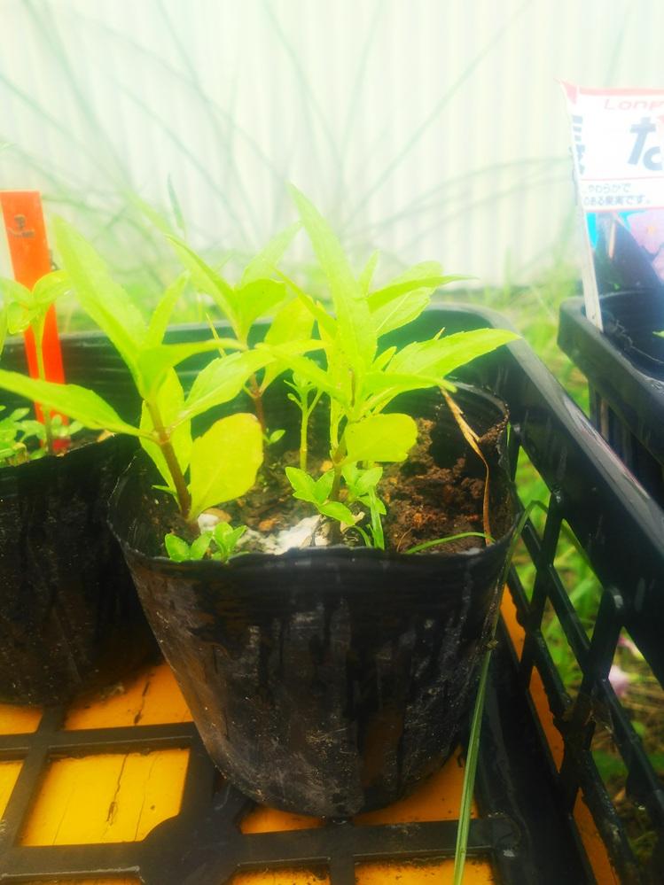 これ、唐辛子ですか? ・ 市販の乾燥した唐辛子を切ったら、たくさんの種がありました。これを植えたら育つかな、と思い、3号ポットで4つほど植えてみました。土は荒れた畑の土を使いました。 水をやってしばらくしたら、ごらんのようなものが芽吹いてきました。 友人が言うには、それはただの雑草で唐辛子ではないとか。 実際、どうなんでしょうか? これを畑に定植したら唐辛子が育ちますか? 元となった唐辛子が自然乾燥なら育つ、熱風による強制乾燥だと育たないと聞きました。