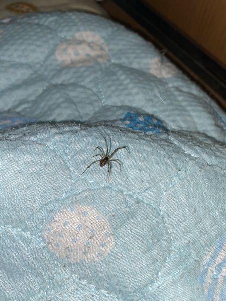 家で蜘蛛を見つけ、何の蜘蛛か軽く調べたのですがわかりませんでした。これは何という蜘蛛なのでしょうか? 足含め1.5cmほどかと思われます。 ひとしきり観察したあと外に逃しました。