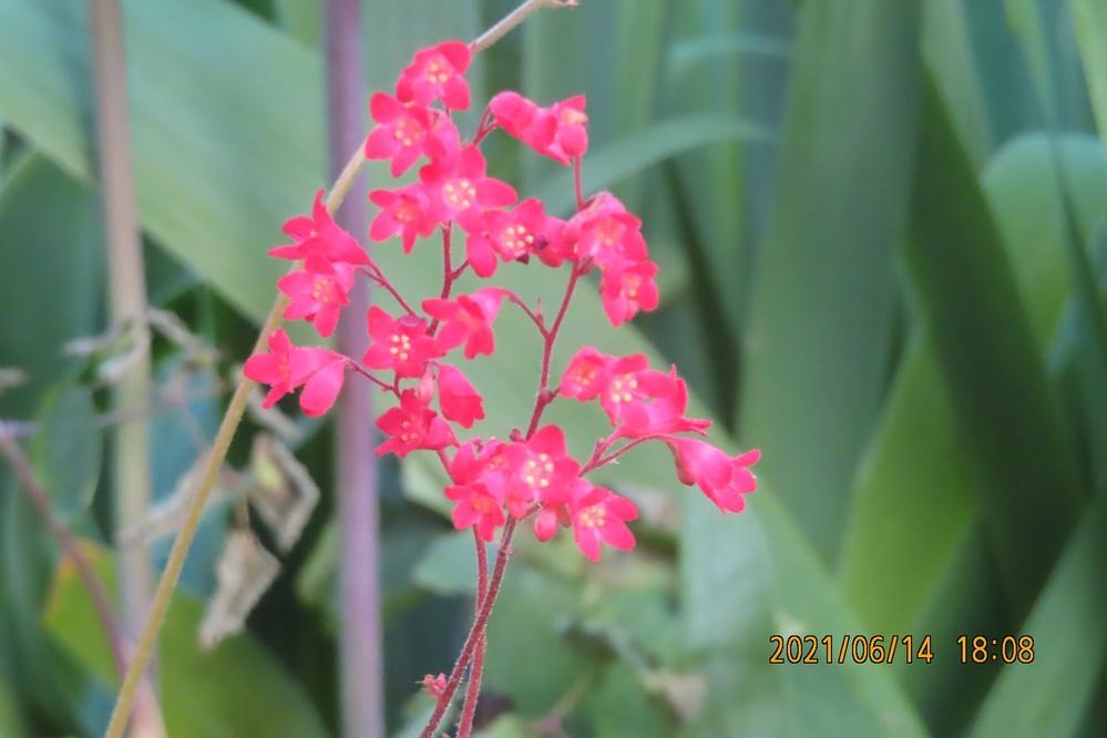 この花はツボサンゴですか ちょつと違うような気もするのですが よろしくお願いします。