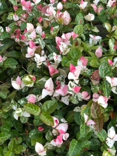 花ではないのですが、美しい葉を持った木がありました。 名前を教えてください。画像を添えますのでよろしくお願いいたします。