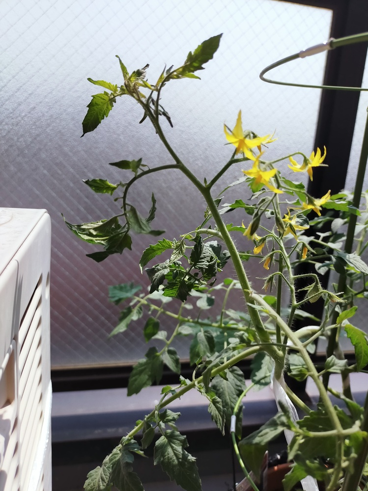 ベランダでミニトマトをプランターにて育てている初心者です。 葉の上部が内側に丸まる症状か現れました。 第4果房まで花が咲いており、第1家房には実もついています。 1週間ほど前にリン・カリ成分多めの液肥で追肥をして、水やりは晴れの日に朝たっぷりめにあげ、雨の日は水やりはしていません。 日当たりはお昼すぎまでは日当たりが良く、風通しもいい方です。 上部の葉だけ丸まり、水不足で萎れたときほど茎は柔らかくないです。 窒素過多?を疑っているのですが、その場合、小松菜を植えると小松菜が窒素を吸ってくれて、ミニトマトの症状が回復するとネットで見ました。 この場合、種をまくといいのでしょうか? また、ミニトマトの葉の症状が改善された場合、小松菜は別のプランターなどに植え替えるのか、そのままトマトと同じプランターで育て続けるのか、どちらがいいのでしょうか? アドバイス等よろしくおねがいします。