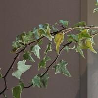 ヘデラの水耕栽培栽培について ヘデラ(アイビー)が勢いよく伸びて不格好になってきたので、先端を20〜30cm切って、以前NHKで紹介してた水耕栽培にチャレンジしています。 室内の明るめの窓際に置いて、毎日水換えをして、時々液肥を与えてますが、葉っぱが黄色くなりやがて茶色に変色して枯れてしまうようになりました。根もまだあまり出てきてないので、切る位置を間違えたのでしょうか? 土植えの時は強すぎ...