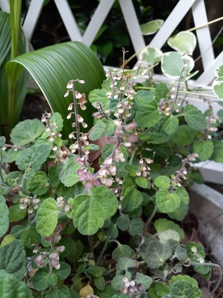 この植物の名前が知りたいです。 ピンクの花弁のようなのはやや硬く、その下には黄緑の小さな種のような粒が入っています。薄茶色になったものはパリパリです。 写真は6月10日撮影。 よろしくお願いします。