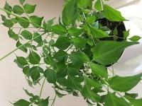 ホームセンターでこのような観葉植物を購入しました。 この植物の名前を教えてください。 お店の方に聞いてもわかりませんでした。