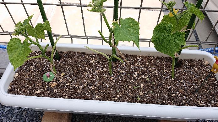 夏すずみと言う胡瓜を育てています。 先程、脇芽取りの意味を履き違えて 写真のように葉を何枚も詰んでしまいました。 光合成できる場所が減ってしまった為、 今後の成育が心配です。 葉の再生が行われるか、 今から出来ることはあるか、 お分かりになる方いましたらお願いいたします! ちなみに、ホームセンターで最後に残っていた 葉の1、2枚が黄色くなっている苗を購入した為 うどん粉病やその他の病気が心配です。 写真を拡大してみてお分かりになる方 お答えお願いいたします!