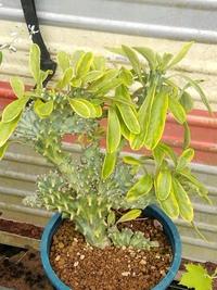 サボテンみたいで斑入りの この植物の名前を教えて下さい。