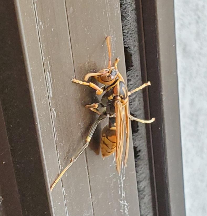 画像のハチは、なんという種類でしょうか?