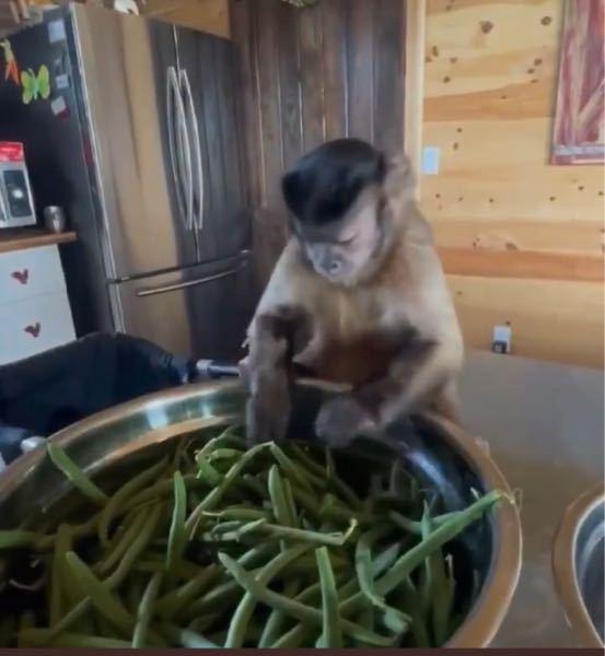お猿さんに詳しい方、この子猿の種類を教えてください。