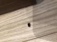 今朝、床にいた虫です。。 ゴキブリの赤ちゃんでしょうか(><)? もしその場合、もうタマゴがかえってしまっているということですよね。。 何か対策などありましたら教えて下さい。。